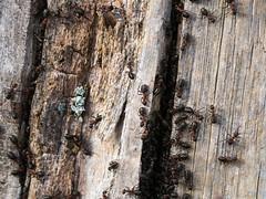 Red wood ants very active on a sunny day (Elise de Korte) Tags: fr france frankrijk ldf lafrance ants formicarufa mier mieren redwoodant rodebosmier
