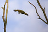weeeee  (Picus viridis) (Cecilia Adolfsson) Tags: gröngöling bird skåne österlen sweden tamronsp150600mmf563divcusdg2 tamron canon6d canon picusviridis theeuropeangreenwoodpecker woodpecker hackspett