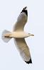 Ring-billed Gull (gilamonster8) Tags: ringbilled gull bird ngc flickrelite fly flight explore eos explored ef400mm56l 5d mark iv canon animal
