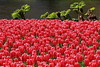 Fake springs. Keukenhoff, Lisse, NL (Eloy Revilla) Tags: holanda keukenhoff lisse spring tulips