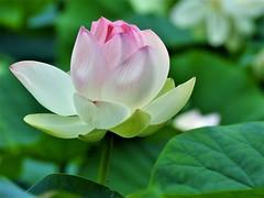 Lily's blush... (Jane Lazarz) Tags: janeelizabethlazarz walkingcolorado nikon p900 nikonp900 lily pink flower green lotus plant janelazarz forestpark springfieldmassachusetts