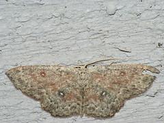 Cyclophora pendularia - Dingy mocha - Кольчатая пяденица тёмная (Cossus) Tags: cyclophora geometridae sterrhinae пестово пяденица 2009
