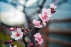 In the Cold Air (moaan) Tags: leicasummicronf20dr kobe hyogo japan jp almond almondblossom blossoming inblossom almondtree branch flowerhead day outdoors dof depthoffield bokeh bokehphotography leica leicaphotography leicamp type240 summicron50mmf20dr f20 utata 2018 50mm