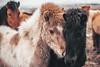 Horses | Iceland 2018 #73/365 (A. Aleksandravičius) Tags: horses animals iceland 2018 nikon nikkor 50mm 50 365 365days 3652018 d750 nikond750 50mmf14g nikkor50mm nikon50mm14g f14g nikon50mm project365 73365