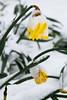 A survivor (smir_001) Tags: march spring pattern snow victoriapark garden plants england bath somerset avon britishgardens royalvictoriapark botanicalgarden flora leaves attractive canoneos7d british narcissus yellow flowering white green
