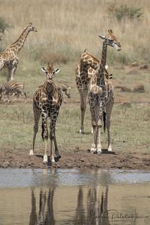 Giraffes at Mankwe dam