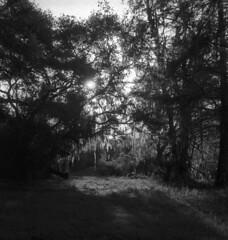 Morning in the Grove (PositiveAboutNegatives) Tags: leica rangefinder m3 leitz leicam3 50mm summicron 50mmsummicrondr dualrange orangegrove film analog bw blackandwhitefilm foma fomapan fomapan100 kodak hc110 aristaultraedu florida coolscan morning sunrise daybreak banesgrove floralcity