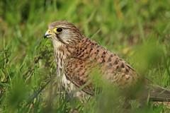 Peneireiro-comum / Common Kestrel (Falco tinnunculus) (Marina CRibeiro) Tags: