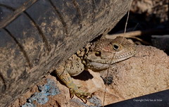 Hide (DirkVandeVelde back , and catching up) Tags: cyprus band lizard hagedis animalia animal dieren buiten outdoor reptile reptiel chordata fauna biologie