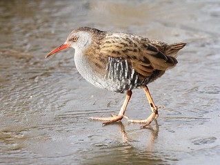 Water Rail - on thick ice III