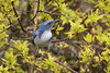 "Scrub-Jay (Catherine ""Cat"" Rose) Tags: 2018 patio bird scrubjay"
