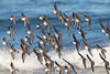 Sanderlings (dennis_plank_nature_photography) Tags: asilomarbeach montereypeninsula california monterey sanderling aquarium birds nature trees waves
