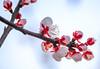 Apricot buds (sapphire_rouge) Tags: 東京 府中 あんず通り tokyo fuchu 杏 あんず apricot ngc
