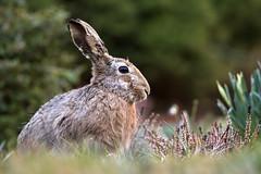 Hare - Hase (rengawfalo) Tags: leporidae hase rabbit bunny hare wildlife nature natur animal tier