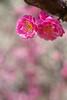 The plum blossoms in Shukkeien garden,Hiroshima city 2018/03 No.4. (HIDE@Verdad) Tags: lzosindustar61lzmc50mmf28 pentaxistds pentax istds industar61 russian