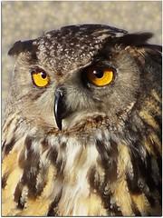 Gli occhi.. (antonè) Tags: gufo rapace occhi piume sguardo guforealeeuropeo borutta sardegna owl buf mussol hibou búho eule baykuş