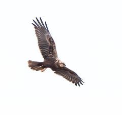 Marsh Harrier gliding