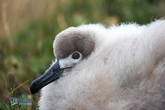 Close-up of a Light-mantled Albatross chick at Fortuna Bay, South Georgia (LEXsample) Tags: albatross diomedeidae fortunabay lexsample lightmantledalbatross lightmantledsootyalbatross phoebetria phoebetriapalpebrata procellariidae procellariiformes roetkopalbatros sootyalbatross southgeorgia animal aves avian avifauna biodiversity bird breeding chick chickphase chickstage child closeup cute detail down downy fauna fluffy guardphase immature juvenile nature nest seabird status:iucn=nt tubenose wildlife young