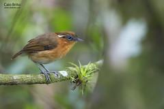 Ceara Gnateater (Conopophaga cearae)