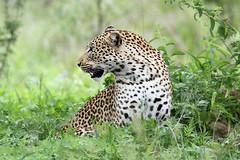 Panthera pardus ♀ (Leopard) - Kruger NP, South Africa (Nick Dean1) Tags: pantherapardus leopard animalia chordata krugernationalpark southafrica