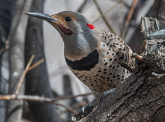 Northern Flicker (Colaptes auratus).  Red/Yellow-shafted intergrade (fugle) Tags: woodpecker flicker northernflicker yellowshaftedflicker redshaftedflicker intergrade reno nevada washoeco