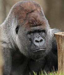 western lowlandgorilla Bokito Blijdorp BB2A6773 (j.a.kok) Tags: gorilla westelijkelaaglandgorilla westernlowlandgorilla lowlandgorilla laaglandgorilla blijdorp aap ape animal africa afrika mammal monkey mensaap zoogdier dier bokito zilverrug silverback