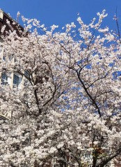 """S/He could do what s/he liked, no one had the right to advise [them], there would be for [them] no Good or Evil unless s/he thought them into being."" ―Jean-Paul Sartre 🌼 (anokarina) Tags: appleiphone8 🌺 🌼 🌸 🌳 parkview spring blue white flowers blossoms blooms dcist"