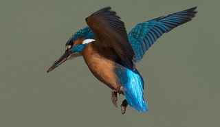 Kingfisher hovering with muddy feet and beak