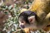 Cautious (Photography by Martijn Aalbers) Tags: squirrelmonkey doodshoofdaapje apenheul apeldoorn guelders gelderland animal dier zoo dierentuin beast beest mammal zoogdier canoneos77d ef70200mmf4lisusm wwwgevoeligeplatennl