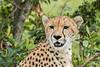 Female Cheetah (Malaika) (Ian Locock Photography) Tags: 2017 cheetah kenya masaimara zebraplains