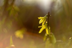 Spring flowers, sun and lens flare. (agnieszka.a.morawska) Tags: bokeh beyondbokeh bokehlicious bkhq yellow helios44m nikon helios forsythia april sunny lensflare dof macro spring flower