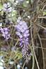 紫藤 (青色琉璃) Tags: 紫藤 三灣 公園 南庄 紫色 花 藤 漂亮 一串