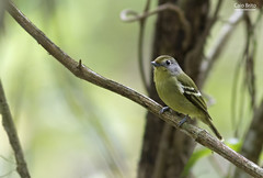 Wing-barred Piprites (Piprites chloris)