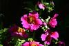 DSC_2556B (The Real Maverick) Tags: torontoparks allangardensconservatory flowershow toronto ontario canada flowers spring easterflowershow nikon