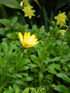 Yellow South African Daisy at the 2018 Allan Gardens Conservatory Spring Flower Show by garden muses-not another Toronto gardening blog