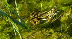 frog 1 (Thomas Meier-Löpfe) Tags: frosch konstanz sealife ese8458 thomasmeierlöpfe