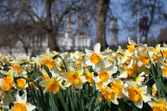 Buckingham Palace 2018 (cuppyuppycake) Tags: spring london uk england cherry blossoms nature outdoors path st james park bench daffodils