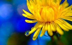 USUT. Nature (YᗩSᗰIᘉᗴ HᗴᘉS +15 000 000 thx) Tags: usut nature flower flora fleur yellow jaune blue drop droplet macro fuji fujifilmgfx50s mediumformat hensyasmine namur belgium europa aaa namuroise look photo friends be wow yasminehens interest intersting eu fr greatphotographers lanamuroise