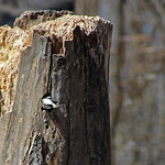 Black-capped Chickadee thumbnail