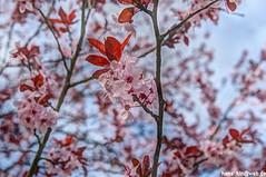 IMGP2809 (hans03) Tags: cosplay wettbewerb marzahn gärten der welt kirschbäume blüte kirschblütenfest 2018