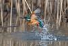 Kingfisher diving / Eisvogel beim baden (@Thomas Neuber) Tags: vogel eisvogel diving kingfisher alcedoatthis bird natur lasauge