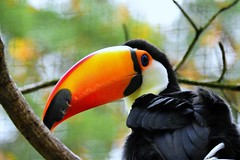 Toucan @ Ouwehands 2017 in Explore 17-03-2018 (By Peter Hollander, thanks for + 200.000 views) Tags: sigma150600sports d7200 ouwehands bird toucan beak zoo