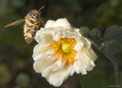 Honey Bee Showing Off Its Anemone (Teddy Alfrey) Tags: honeybee bee nature flower garden yellow anemone japaneseanemone nikon orange