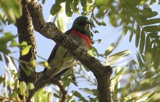 Miombo Sunbird