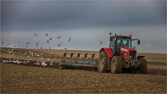 Following the Plough... (Linton Snapper) Tags: gull masseyferguson tractor ploughing agricultural cambridgeshire canon lintonsnapper