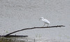 A Snowy Egret in Washington State (Noble Bunny) Tags: rare unusual sighting snowy egret out normal range white heron washington state pacific northwest nw