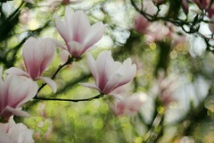 Magnolia (Magreen2) Tags: magnolia blossom tree bokeh spring trioplan10028 pink white green dreamy verträumt magnolie blüten baum