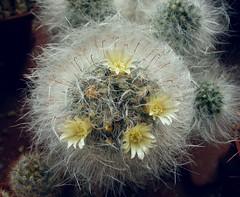 Mammillaria bocasana (Alex_CL) Tags: mammillaria bocasana