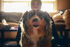 Monday Mlem (flashfix) Tags: march192018 2018inphotos ottawa ontario canada nikond7100 40mm nikon flashfix flashfixphotography portrait scott sock dog canine animal pet austrailanshepherd triaustrailanshepherd bluemerle tricolour heterochromia tongue mlem