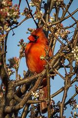 Spring arrival (famasonjr) Tags: northerncardinalcardinaliscardinalis ngc red flower nature wildlife backyard cardinal male